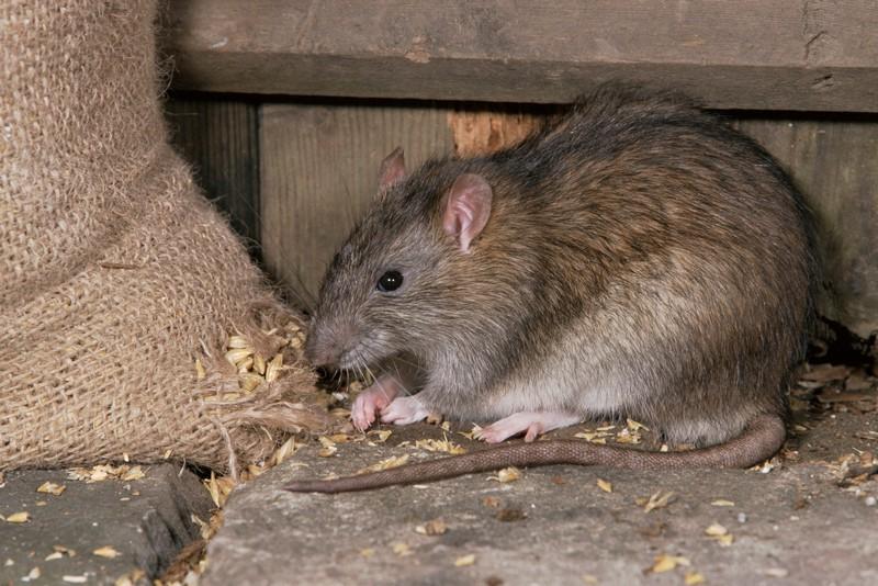 rat paste